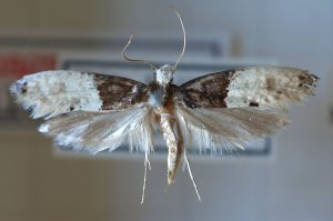 carpet moths more common avonvale